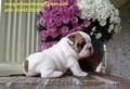 TTL English bull pui de câine pui pentru adoptarea